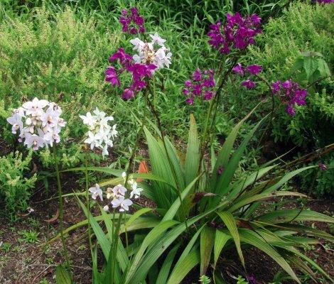 VƯỜN LAN ĐÀO VIÊN 200709131212ground_orchid_white