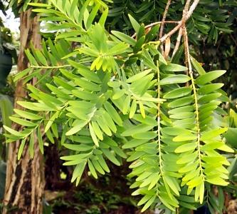 Agathis lanceolata