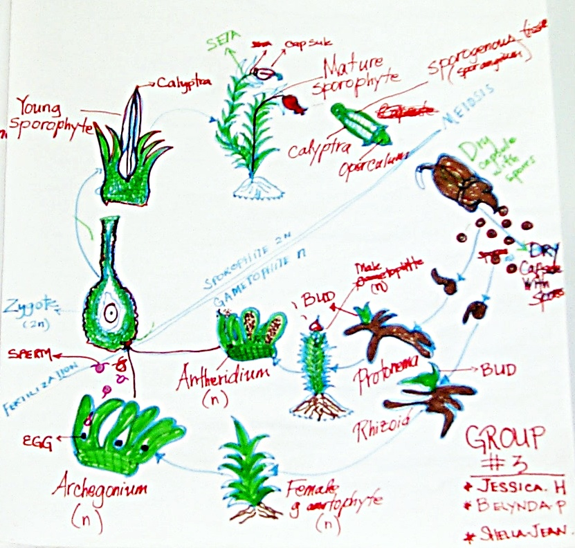 Life Cycle Of A Labeled Moss Diagram: Moss