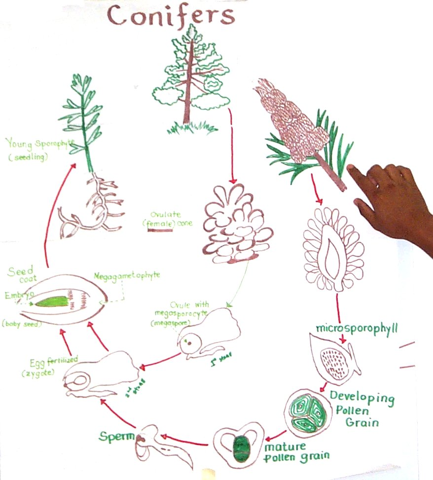 Flowering Plant Life Cycle Diagram Life Cycle Diagram