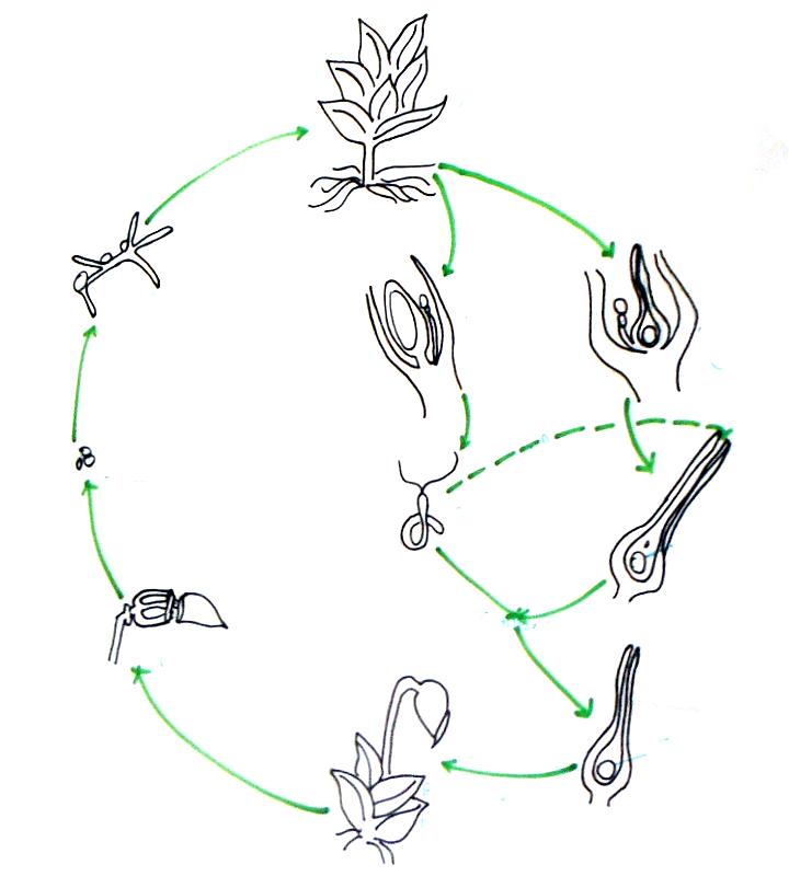 Moss Plant Diagram