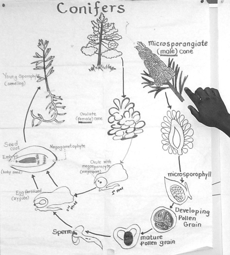 ethnobotany of a course companion conifer life cycle