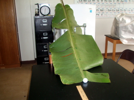 041 Conservation Of Energy Banana Leaf Marble Ramp